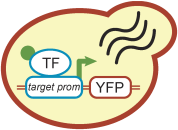 Synthetic transcription factor in yeast.