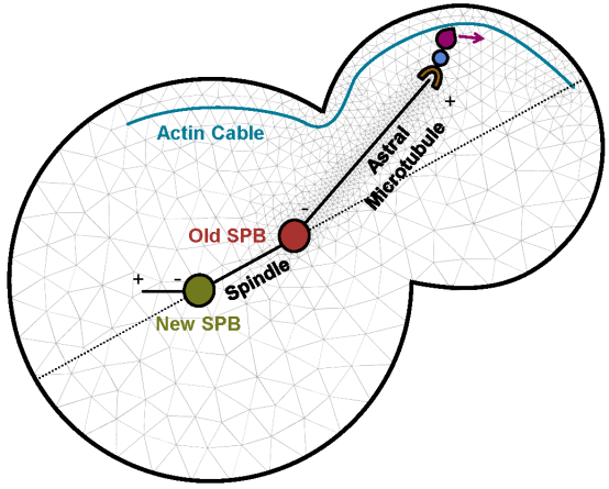 Multiscale modeling of microtubule networks in yeast.
